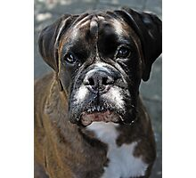 Portrait Of A Female Boxer -Boxer Dogs Series- Photographic Print