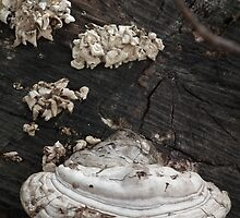 White Shelf Fungus - Vertical by Deb Fedeler
