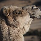 GET ON MAH CAMEL by Katastrophuck