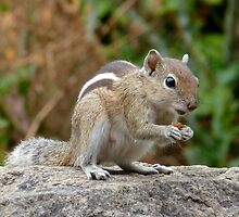Cool Indian Palm Squirrel by wwwildlife