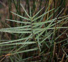 Distichlis distichophylla - Australian Salt-grass, Westgate Park by flaxlily