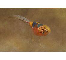 Golden Pheasant Photographic Print