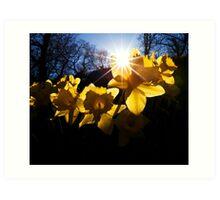 Daffodils at Cockermouth Art Print