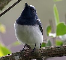 Leaden Flycatcher by triciaoshea