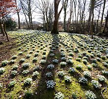 Snowdrops at Lamplugh 2 by Jan Fialkowski