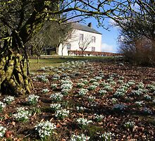 Snowdrops at Lamplugh 3 by Jan Fialkowski