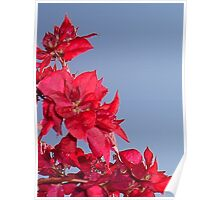 Pink Red Blooming Bougainvilleas Against A Blue Sky Poster