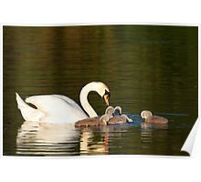 Mother Swan with Cygnets, Cleator Pond Poster