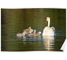 Cygnets with Mother Swan at Cleator Pond Poster