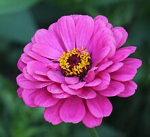 Pink Zinnia by hummingbirds