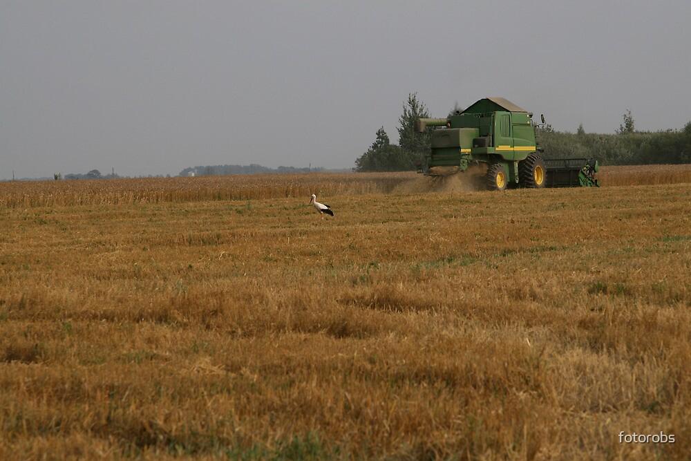 Stork in cornfield by fotorobs