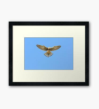 Kestrel Hovering Over Cliffs, Land's End, Cornwall. Framed Print