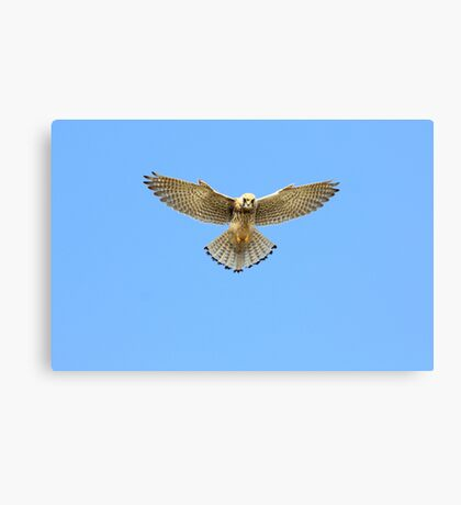 Kestrel Hovering Over Cliffs, Land's End, Cornwall. Canvas Print