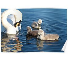 Mother Swan & Feeding Cygnets ~ Cleator Pond Poster