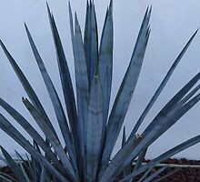 The blue agave - Agave Azul, Puerto Vallarta, Mexico by PtoVallartaMex