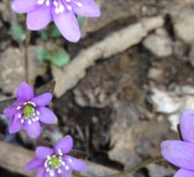 Hepatica Athenaeus Sticker