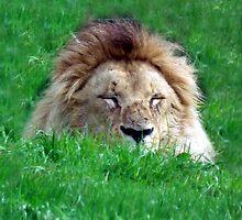 Lion by Abigail Langridge