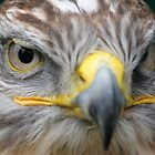 Ferruginous Hawk by Christopher Lloyd
