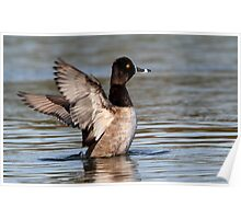 In A Flap / Ring-Necked Duck Poster