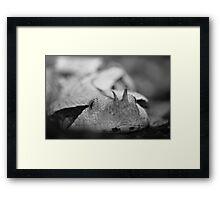 Gaboon Viper Framed Print