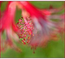 Hibiscus, Mission Beach, FNQ Photographic Print