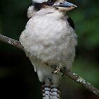 Kookaburra iPhone Case by Michael Eyssens