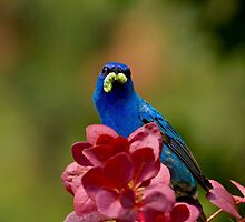 Indigo Bunting With Meal Worm by John Absher