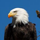 Bald Eagle by Tom Clark
