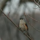 Tufted Titmouse by eaglewatcher4