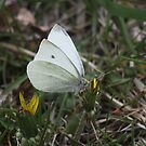 Male White Cabbage Butterfly by Alyce Taylor