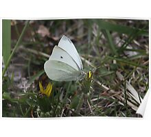 Male White Cabbage Butterfly Poster