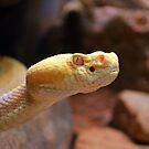 Albino Rattlesnake by Mattie Bryant