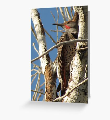 Northern Flicker (Red-shafted)~ Male Greeting Card