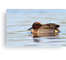 Tealicious / Green Winged Teal Drake Canvas Print