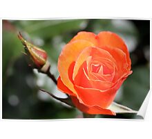 Rose & Rose Bud Poster