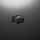Batfish by Fatfish Photography