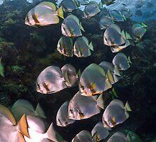 Batfish Ladder by Fatfish Photography