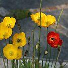 Poppies by karina5