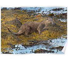 Scottish coastal otter Poster