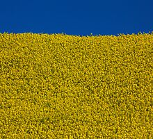 A field of sunshine, near Maryport, Cumbria by Jan Fialkowski