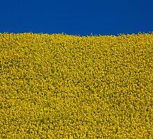 A field of sunshine, near Maryport, Cumbria by Jan Fialkowski