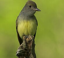 Great crested Flycatcher by Wayne Wood