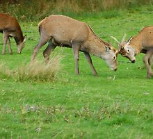 Young Red Deer stags practicing the Rut, Lochranza, Isle of Arran by Gerry McGirr