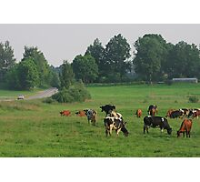 Cows herd. Photographic Print