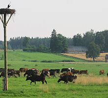 Cows herd by fotorobs