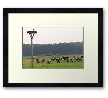 Cows herd Framed Print