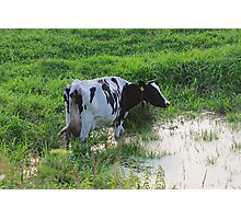 Straggled cow Photographic Print