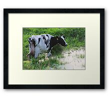 Straggled cow Framed Print
