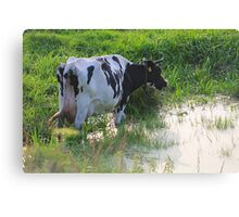 Straggled cow Canvas Print