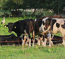 Cows by fotorobs